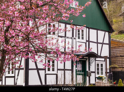 Old half-timbered house during the cherry blossom in Gummersbach, Germany - Stock Photo