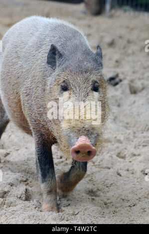 Bornean bearded pig, Bartschwein, Sus barbatus, szakállas disznó - Stock Photo
