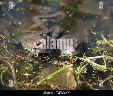 Couple of frogs in a pond enjoying the sun - Stock Photo