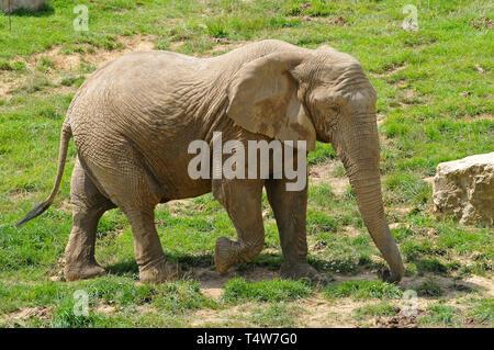 African savanna elephant, African bush elephant, Afrikanische Elefant, Afrikanischer Steppenelefant, afrikai elefánt, Loxodonta africana - Stock Photo