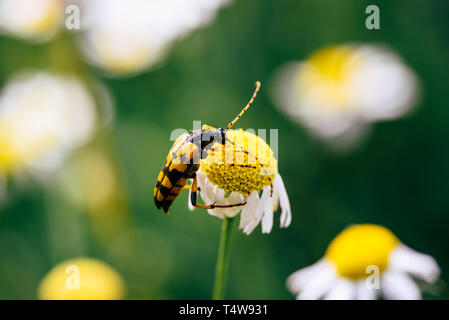 Spotted longhorn beetle sitting on the chamomile flower - Stock Photo