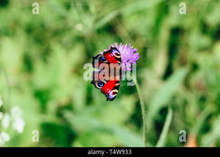 Aglais io or european peacock butterfly sitting on the pink flower - Stock Photo