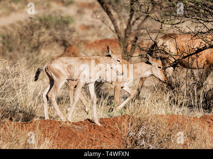 A pair of Red Hartebeest calves in Southern African savanna - Stock Photo