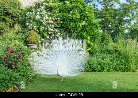 Roquelin's gardens, Les jardins de Roquelin, France : male white peacock (Pavo cristatus mut. alba on lawn (obligatory mention of the garden name and  - Stock Photo