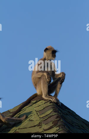 Tufted Grey Langur. Semnopithecus priam. Single adult sitting on roof holiday chalet. Sri Lanka. - Stock Photo