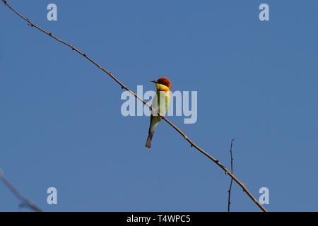 Chestnut-headed Bee-eater, Merops leschenaulti. Single adult perched on twig with blue sky. Sri Lanka. - Stock Photo