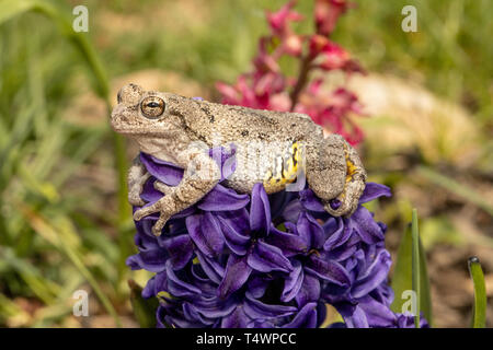 Gray tree frog on a purple hyacinth - Hyla versicolor - Stock Photo