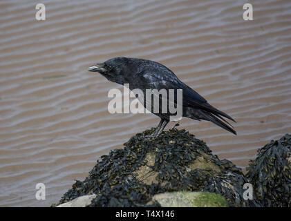 Carrion crow, Corvus corone, on seaweed covered rock, on beach, Morecambe Bay, Lancashire, England UK - Stock Photo
