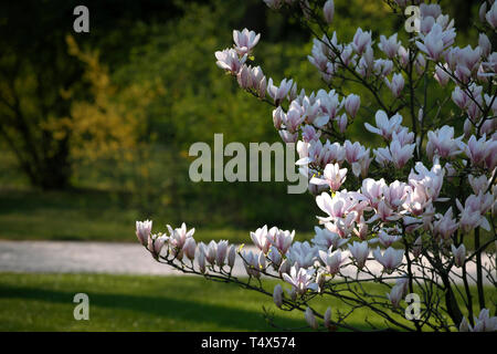 Bush of blooming white, light pink magnolia Flowers in the park. Green grass and the alley. Spring blossom. Flower background. - Stock Photo