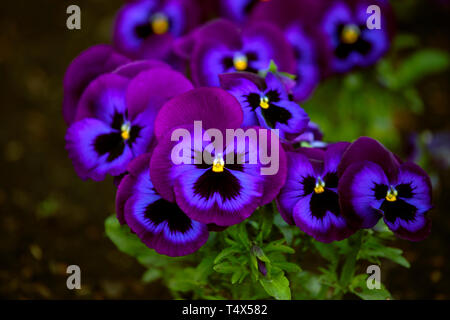 Vibrant, juicy color, intense hue of Purple, violet and black shades of pansies. Close up, pansy yellow eye, green background. Low light. - Stock Photo