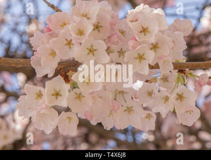 Closeup of delicate pink and white cherry blossoms in bloom welcome the beginning of spring. - Stock Photo