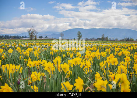Endless fields of yellow daffodils blooming brightly on a flower farm in early spring. - Stock Photo
