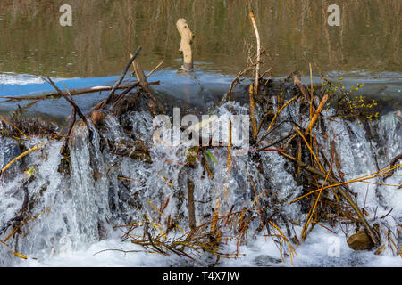 Spring runoff of water overflows an American Beaver dam (Castor canadensis), Castle Rock Colorado US. - Stock Photo