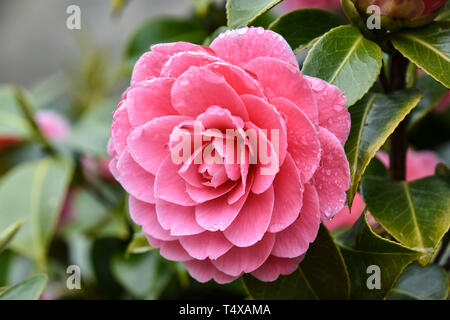 Pink Camellia flower with raindrops on petals, after rain, close-up - Stock Photo