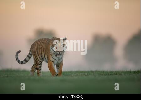 Tiger walking on green field on morning sunrise. Dangerous animal, taiga Russia. Siberian tiger, Panthera tigris altaica. Closeup view of danger big c - Stock Photo