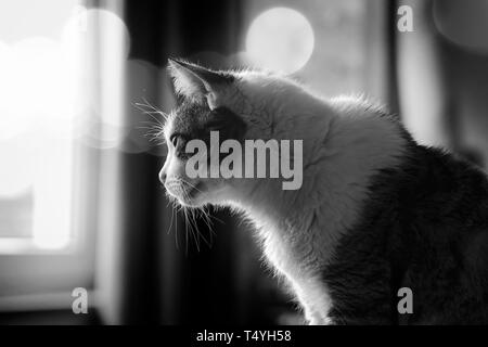 Profile of a tabby cat looking out of a window. Black and white image with bokeh background. - Stock Photo