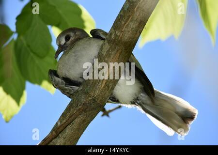 Wood Pigeon (Columba Palumbus) sitting on a tree - Stock Photo
