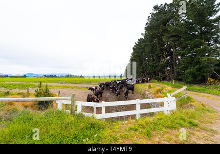 Herd of cows in the pen, Southern Alps, New Zealand sortiert. Copy space for text - Stock Photo