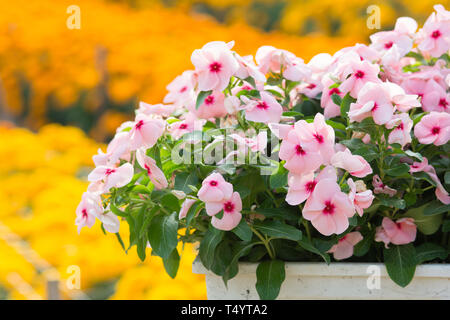 Vinca rosea flowers blossom in the garden, foliage variety of colors flowers, selective focus - Stock Photo