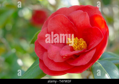 Close-up of a red Royal Velvet (Camellia japonica) Flower in Spring. View of a blossoming red Camellia Flower in April. Red Spring Flowers. - Stock Photo