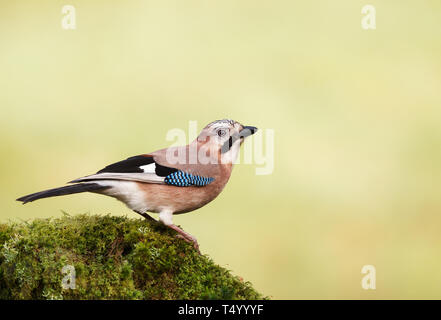 Close up of Eurasian Jay (Garrulus glandarius) perched on a mossy tree trunk, Scotland. - Stock Photo