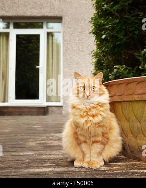 Close up of a ginger cat sitting in the back yard, UK. - Stock Photo