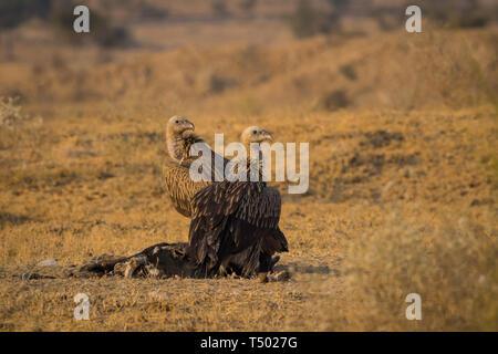 Himalayan Griffon Vulture (Gyps himalayensis) with Eurasian Griffon vultures (Gyps fulvus) on carcass near Bikaner, Rajasthan, India - Stock Photo