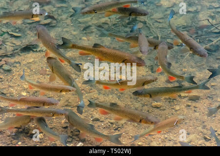 trout on the bottom of the lake. lots of fish swimming freely in clear water - Stock Photo