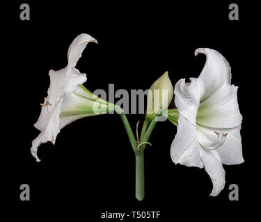 Beautiful Easter Lily - Stock Photo