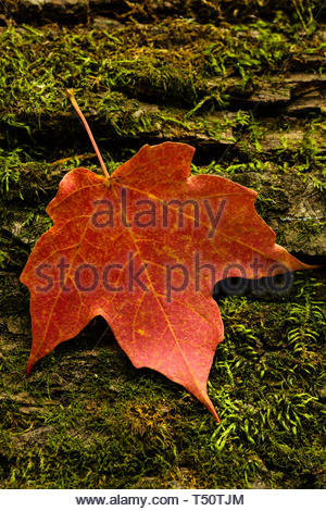 Sugar maple leaf rests on a moss-covered log in the autumn Wisconsin woods,  within the Pike Lake Unit, Kettle Moraine State Forest, Hartford - Stock Photo