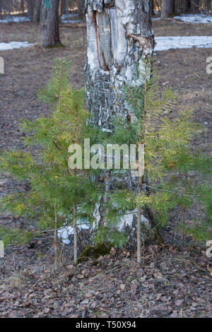 Small pines growing near the old birch in the golden rays of the evening sun. - Stock Photo