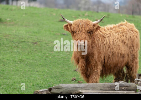 Highland cow cattle in Germany - Stock Photo