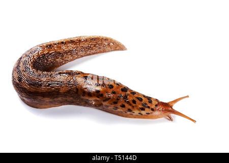 The spotty slug creeps on a white background - Stock Photo