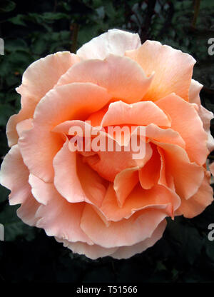 This close-up shows the petals of a beautiful pink rose blossom folding back from the center of this popular ornamental garden flower. The rose is a type of flowering shrub and gets its name from the Latin word Rosa. Roses belong to the family of plants called Rosaceae and are considered the most popular flowers in the world. With more than 150 species of roses and thousands of hybrids, roses can be found in nearly every color and dozens of different shapes. - Stock Photo