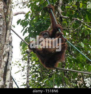 Bornean orangutans (mother and baby) drinking from coconut while hanging from rope in forest at Semenggoh Wildlife Centre, Kuching, Sarawak (Borneo),  - Stock Photo