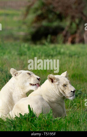 White lion cubs (Panthera leo krugeri) in the Drakenstein Lion Park, Klapmuts, Western Cape Province, South Africa. - Stock Photo