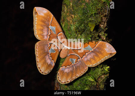 Enormous Rothschild's GIant Silkmoth (Rothschildia triloba) in the Costa Rica cloud forest