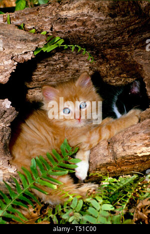 Fluffy tiger kitten with blue eyes sits in hollow log among ferns playing with another kitten, Missouri USA - Stock Photo