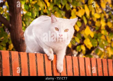 Gato blanco en lo alto de un muro. Madrid. España - Stock Photo