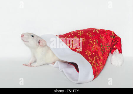 Bright fluffy rat looks out of a red Christmas hat on a white background. - Stock Photo