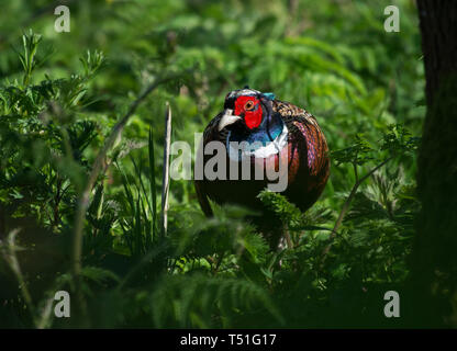 Ring-necked pheasant, Phasianus colchicus, male, hiding in undergrowth, in woods, Lancashire, UK - Stock Photo
