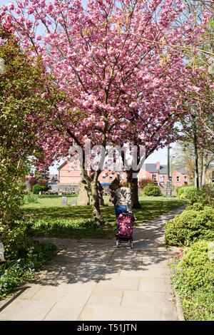 Hucknall Church in Spring Lady walking under pink cherry Tree. - Stock Photo