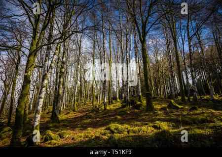 Birch woodland in Spring, Barcaldine, Oban, Scotland. - Stock Photo