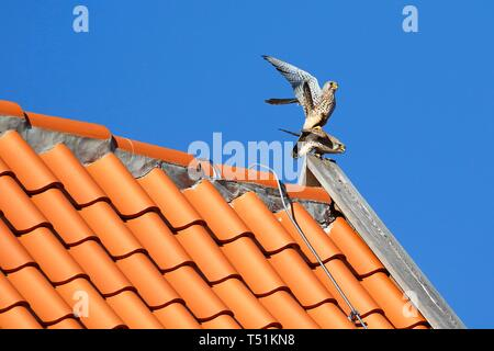 Common kestrels (Falco tinnunculus), pairing on tiled roof, Schleswig-Holstein, Germany - Stock Photo