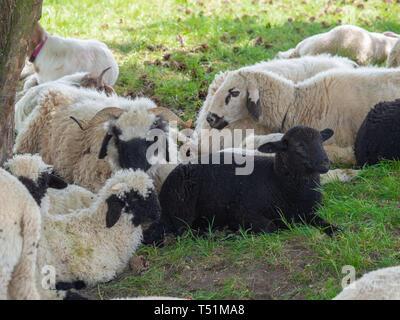 Sheep herd on pasture - Stock Photo