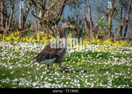 Greylag goose (anser anser) walking amongst spring time daisy wild flowers - Stock Photo