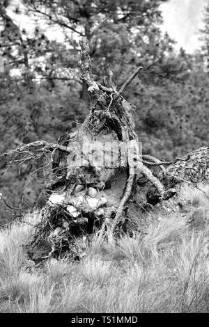 A black and white photograph of a fallen trees branched dead stump covered in dirt and other plants. - Stock Photo
