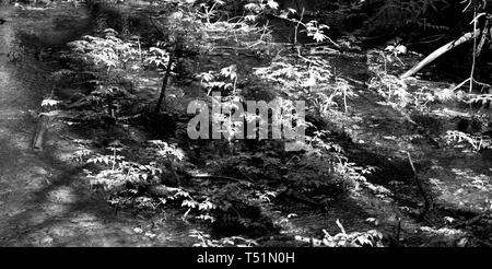 A black and white photograph of rainforest ferns in the Coho park trail in Squamish B.C. Canada. - Stock Photo