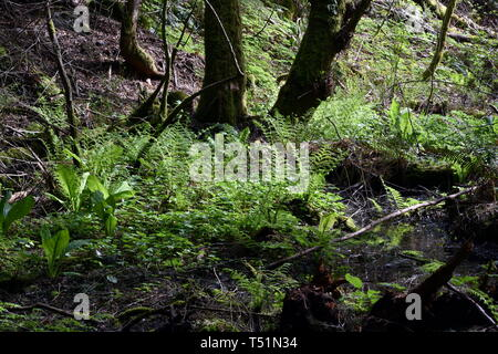 Photograph of the lush greenery found in a Squamish BC Canada rain forest. A rare urban rainforest with lush greens of ferns, mosses and old trees. - Stock Photo