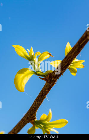 Young leaves on tree branch in spring close up copy space - Stock Photo